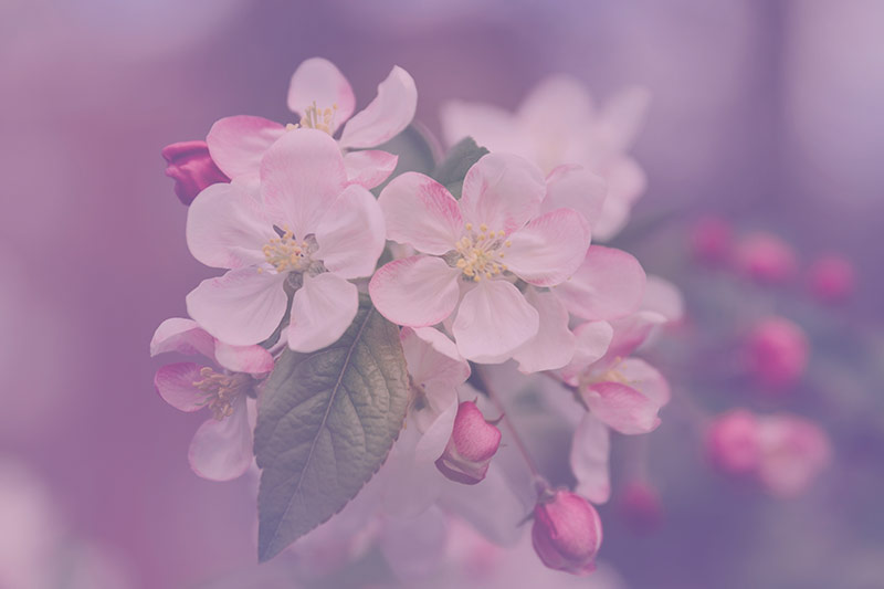 Cherry Blossom Allergies Homeopathy